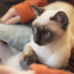 10 Цікавих фактів про сіамських кішок