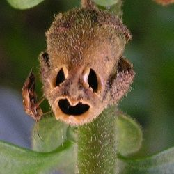 10 Моторошних грибів і рослин, схожих на людські частини тіла