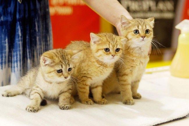 Зовнішній вигляд кішки на виставці