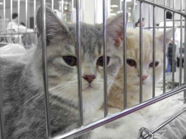 Клітка кішки на виставці
