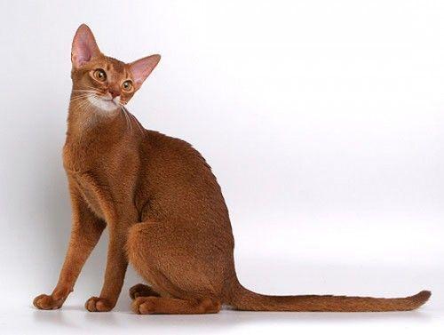 Абиссинская кішка: особливості породи