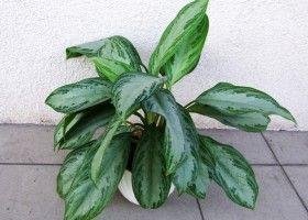Аглаонема: вирощування в домашніх умовах