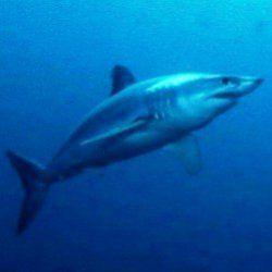 Акула встановила рекорд, пропливши півсвіту за 600 днів
