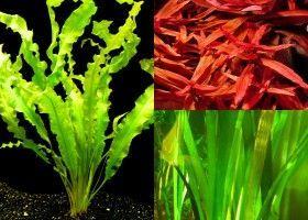 Акваріумні рослини