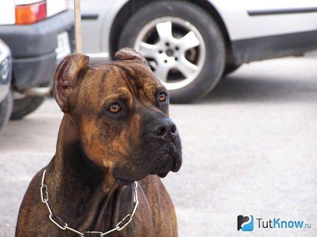 Мордочка аланской бойової собаки