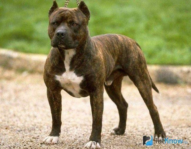 Аланська бойова собака на прогулянці