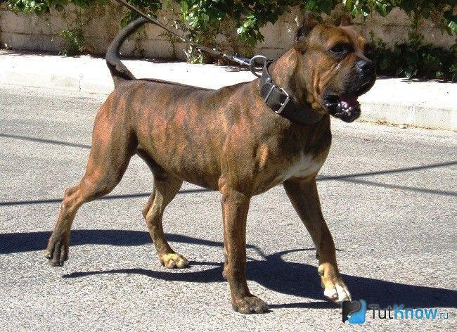 Аланська бойова собака на повідку