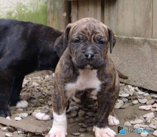 Щеня аланской бойової собаки