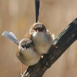 Австралійські співочі птахи користуються особливим паролем