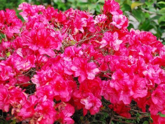 Азалія домашня яскраво-червона, фото