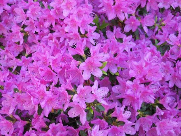 Азалія домашня фіолетова, фото