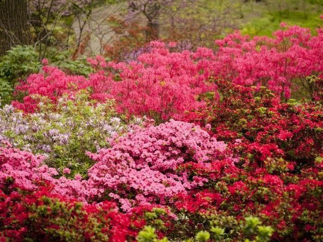 Сад - Азалія домашня, фото