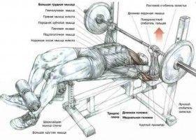 М`язи, задіяні при виконанні жиму лежачи