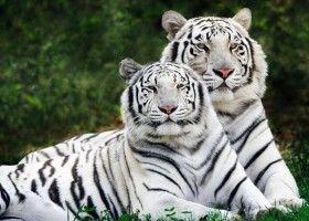 Білий тигр - найдорожче домашня тварина