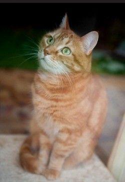 Вагітність у кішок, ознаки та догляд
