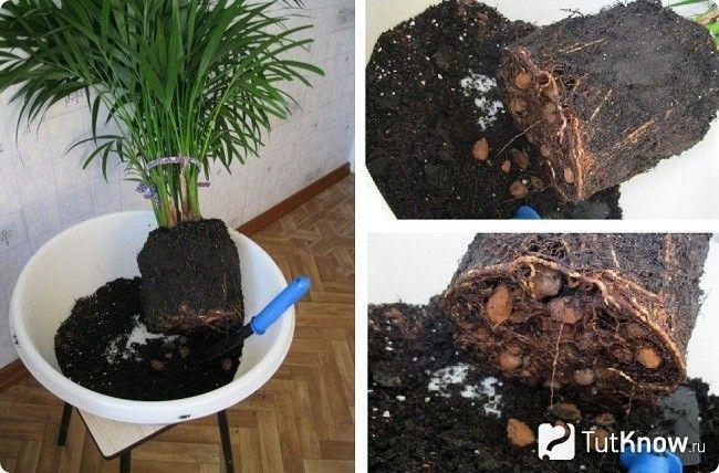 Розмноження пальми в домашніх умовах
