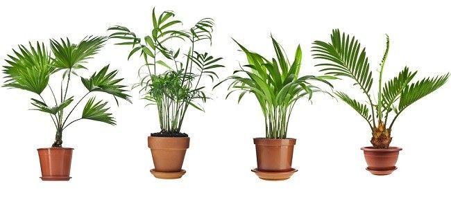 Різні види бетелевих пальм в вазонах