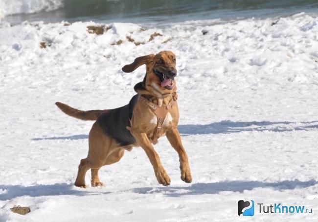 Бладхаунд біжить по снігу