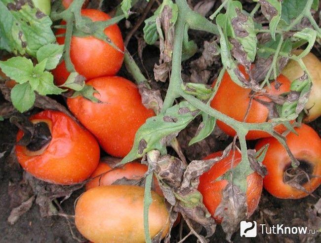 Прояв бактеріальної хвороби на томатах