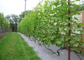 Здорові кущі винограду