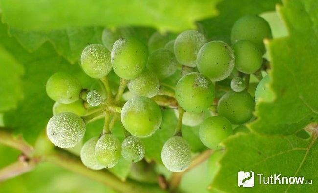 Борошниста роса на винограді