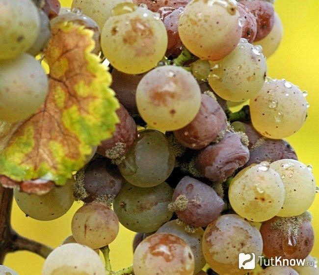 Сіра гниль на винограді