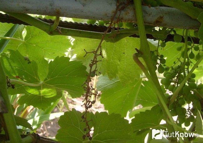 Параліч гребенів на винограді