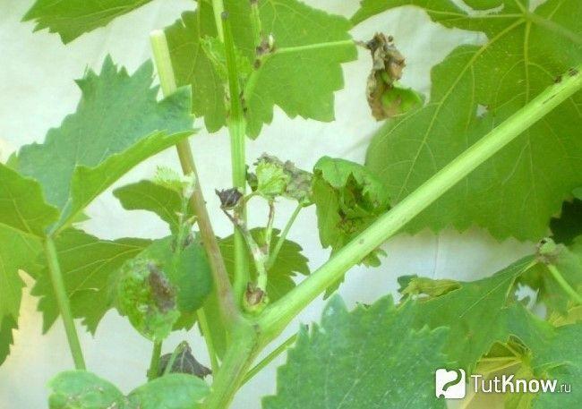 Антракноз на винограді