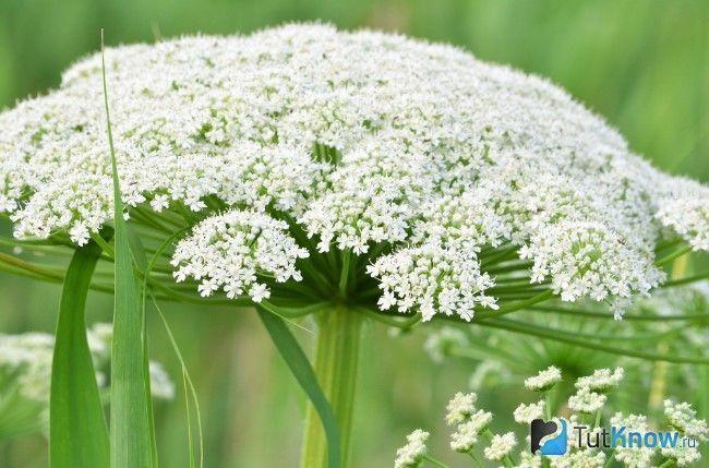 болиголов цвіте