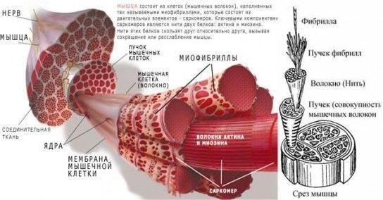 При мікротравмах м`язових волокон допоможе