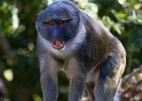 Болотиста мавпа: поради по утриманню в умовах будинку