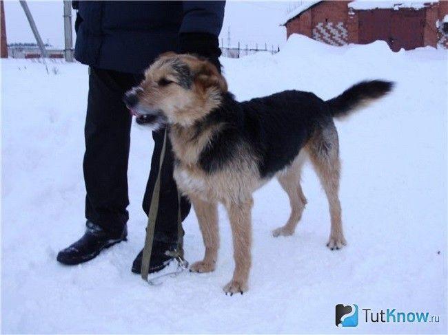 Боснійська гончак на снігу