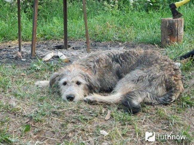 Боснійська гончак лежить