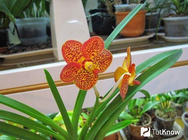 цвітіння бульбофіллума