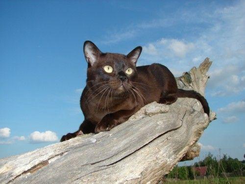 Бурманська кішка, особливості породи