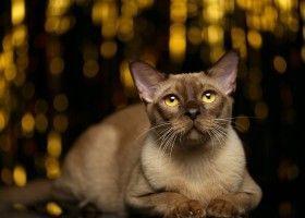 Бурманська кішка - все про догляд вдома