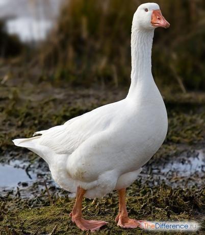 Чим відрізняється гусак від качки?