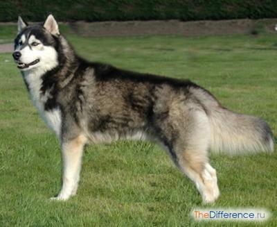 Хаскі (собака)
