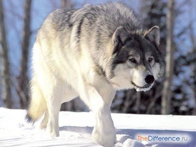 відміну вовка від собаки