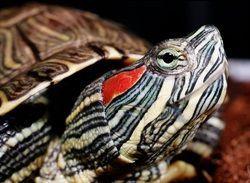 Черепахи: утримання та догляд