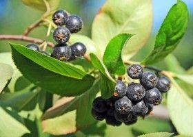 Чорноплідна горобина: посадка, догляд і особливості вирощування
