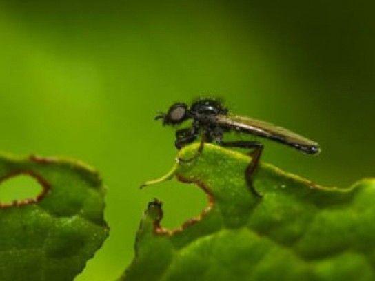 Найефективніший засіб проти цибулевої мухи