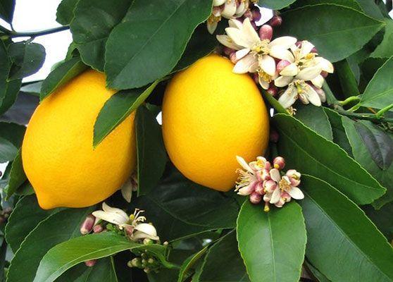 сорт лимона мейер
