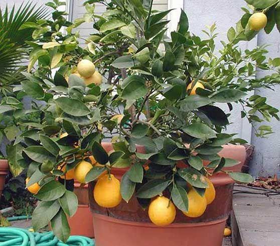 дерева лимона в горщиках