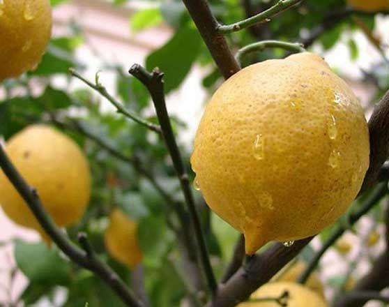 обприскування лимонів
