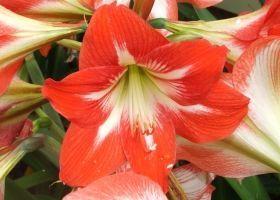 Квітка Гіппеаструм: догляд