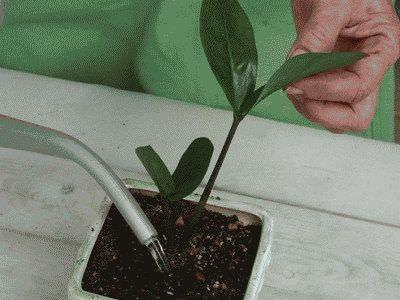 поливаємо рослина