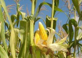 Дачна кукурудза: технологія вирощування