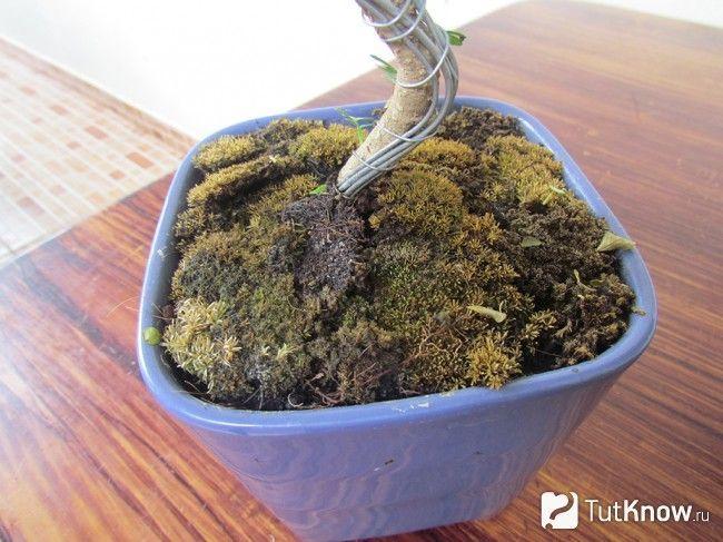Грунт для дерева бонсай