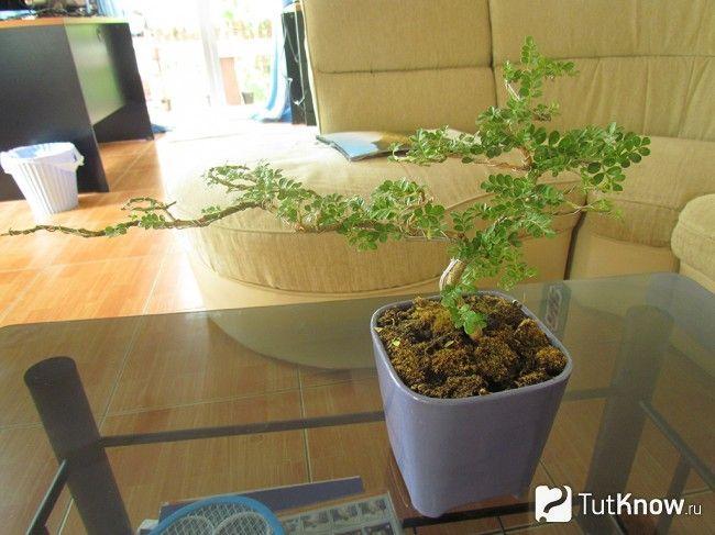 Фото маленького дерева бонсай